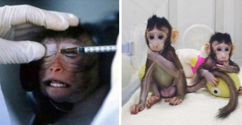 Coronavirus, si infettano le scimmie per cercare una cura efficace