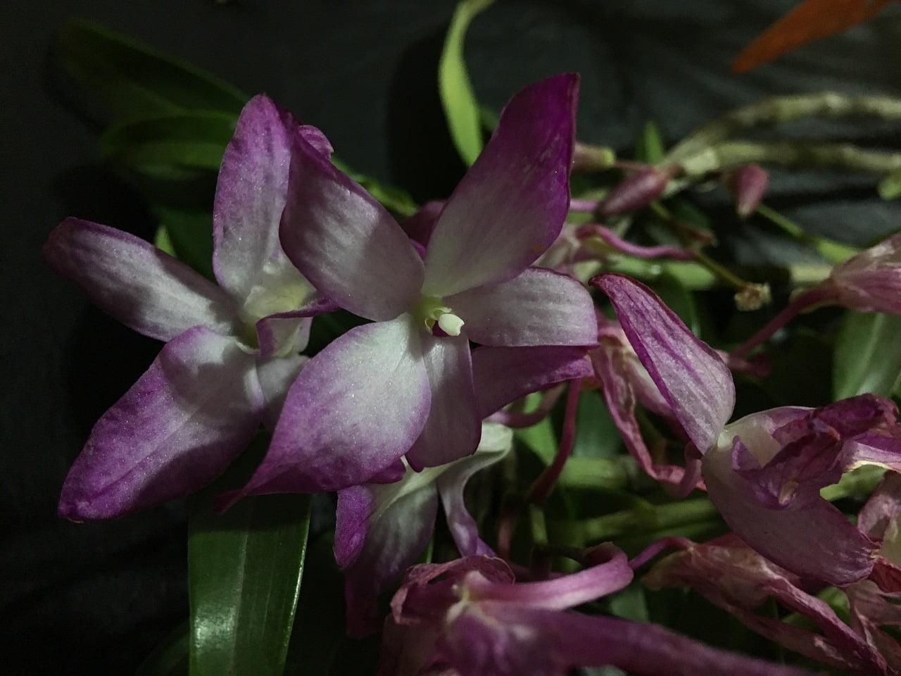 Orchidea, come sapere se è morta